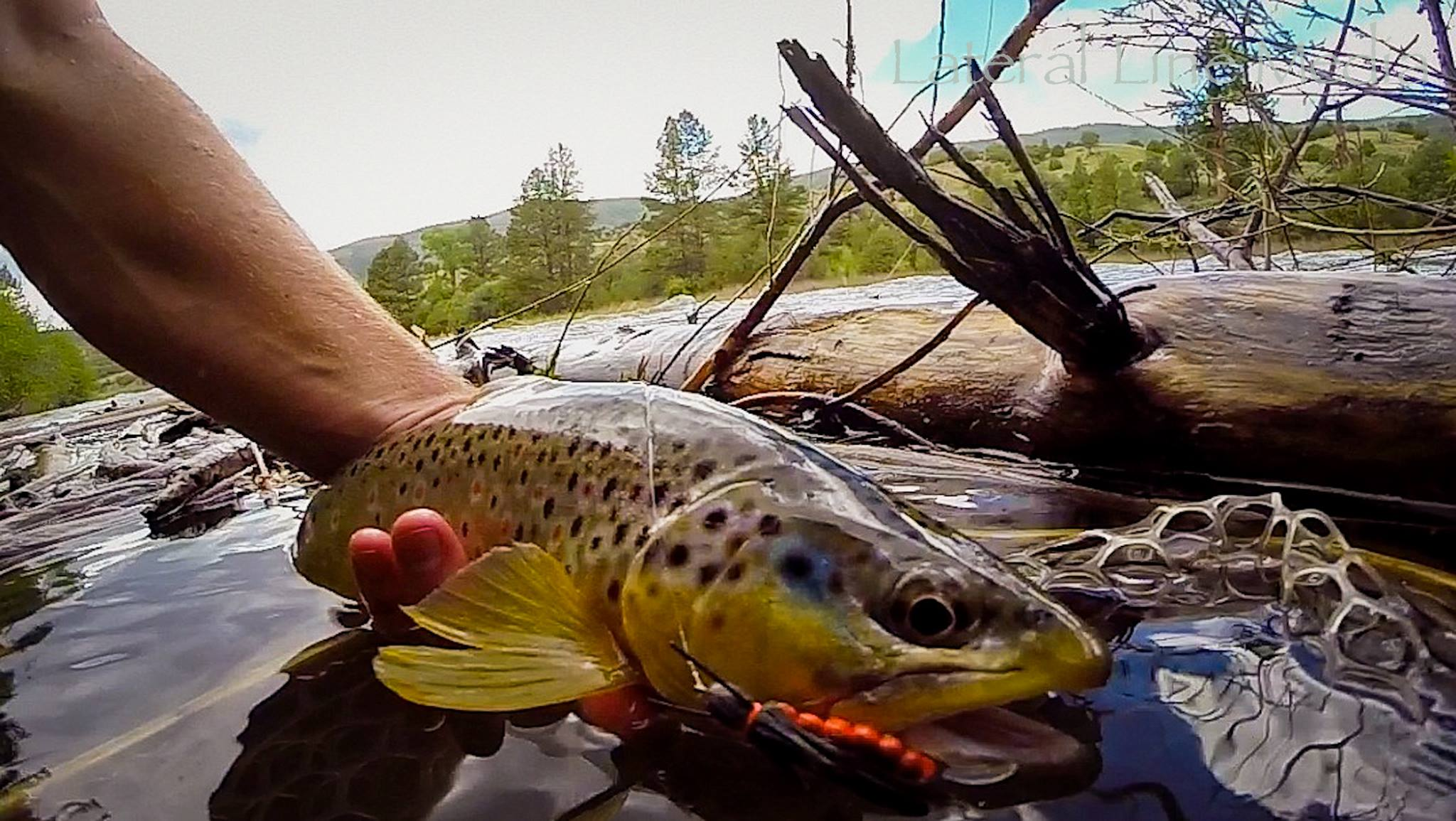 Colorado River Brown Trout hooked on a Salmon Fly
